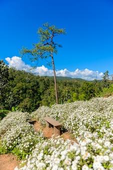 Culture de chrysanthèmes produisant de l'eau avec du thé de chrysanthèmes à chiang mai, en thaïlande