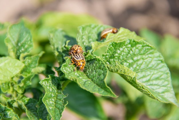 Culture de coléoptères colorado de pomme de terre. mise au point sélective.