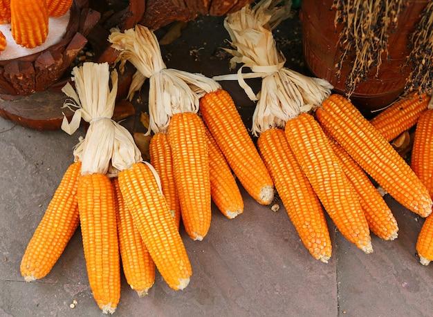 Culture du maïs après la récolte