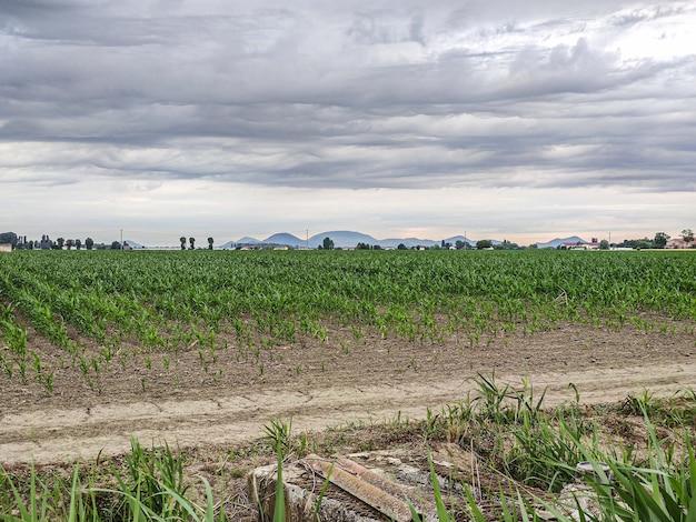 Culture du maïs en italie sous un ciel d'orage au printemps