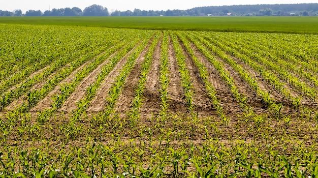 Culture de germes de maïs