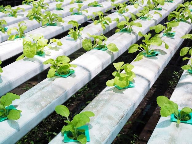 Culture hydroponique avec plantation de légumes biologiques dans des trous sur rail en acier.
