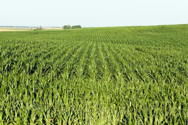 Culture de maïs vert
