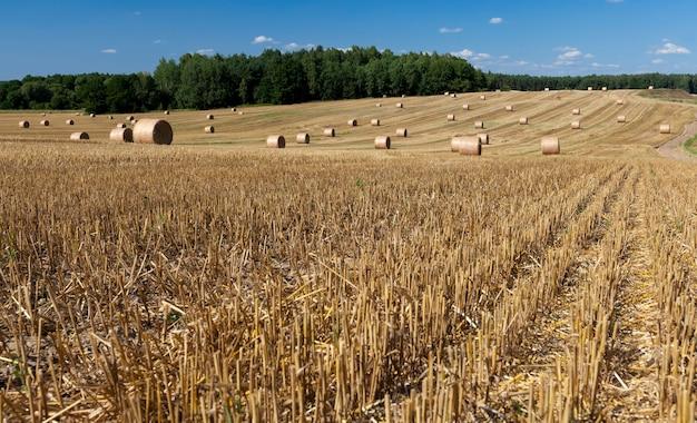 Culture de la paille de blé