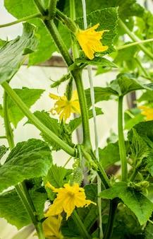 Culture et récolte de concombre maison. mise au point sélective.