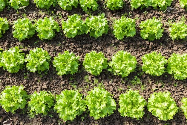Culture de salade bio dans les serres