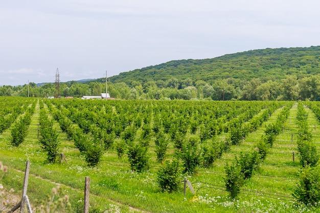 Cultures de noisettes. champ avec des buissons de noisetiers. irrigation goutte à goutte pour la plantation de noisettes.