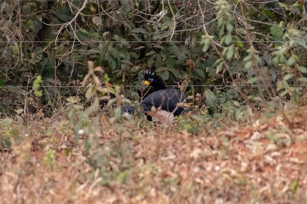 Curassow mâle adulte à face nue de l'espèce crax fasciolata
