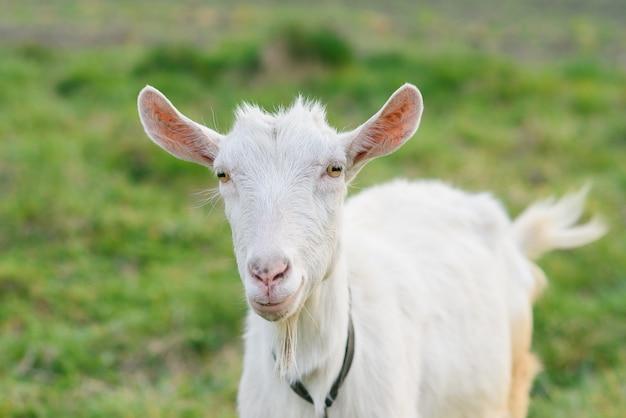 Curieuse chèvre heureuse broutant sur une pelouse verte et herbeuse. portrait d'une chèvre drôle. animaux de ferme. la chèvre regarde la caméra.