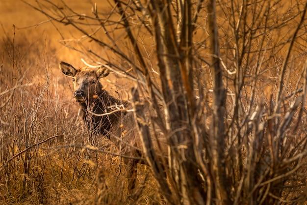 Curieux cerf dans les broussailles dans le parc national des rocheuses