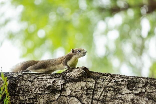 Curieux écureuil brun jetant un coup d'œil derrière le tronc