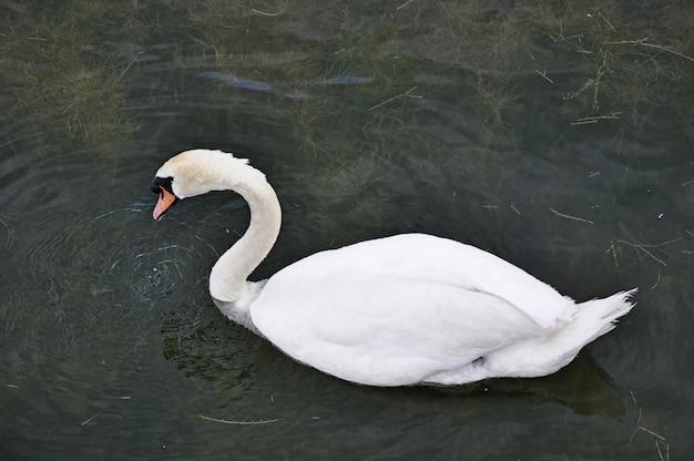 Cygne à l'automne sur l'étang