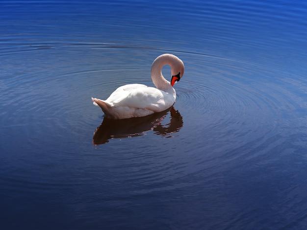 Cygne blanc avec cou incurvé à la dérive le fond du lac