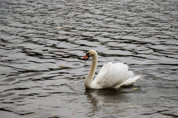 Cygne blanc dans l'eau nageant, lac et animal de la faune