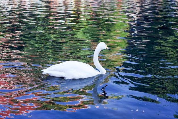Le cygne blanc était heureux de nager dans le canal noir de la vague de réflexion