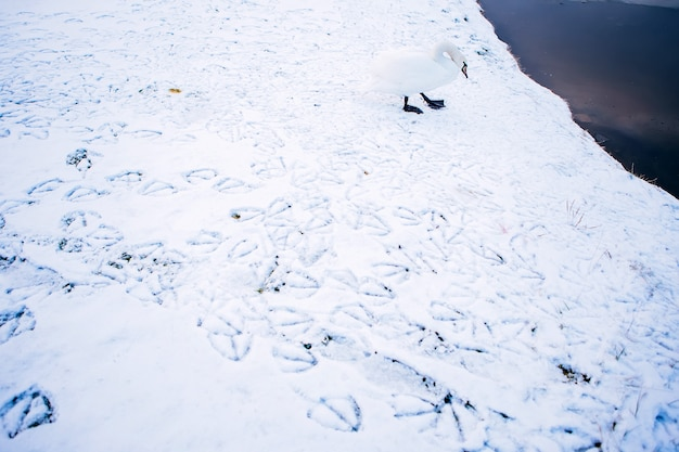 Cygne blanc sur un étang d'hiver. rivière gelée. empreintes de pas dans la neige. paysage d'hiver avec cygne blanc. nature endormie.