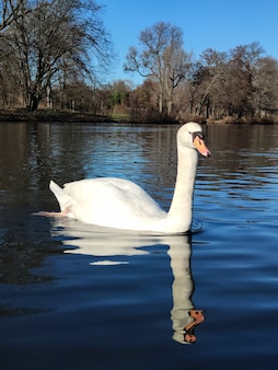 Cygne blanc sur un étang tard en automne ou en hiver par beau temps
