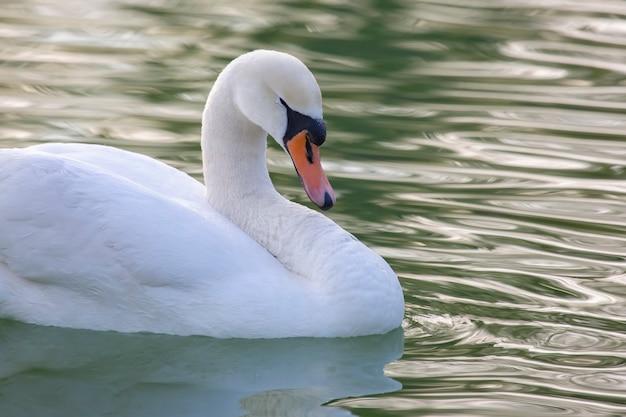 Cygne blanc gracieux flottant sur l'étang