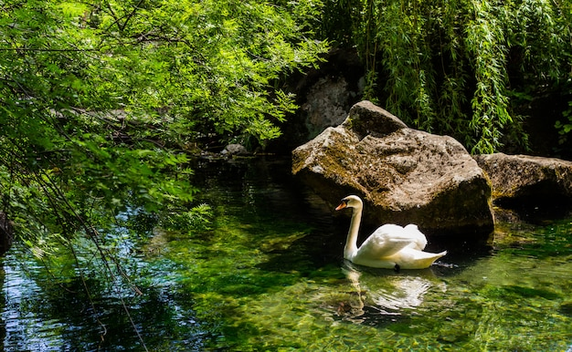 Un cygne blanc nage dans un étang du parc.