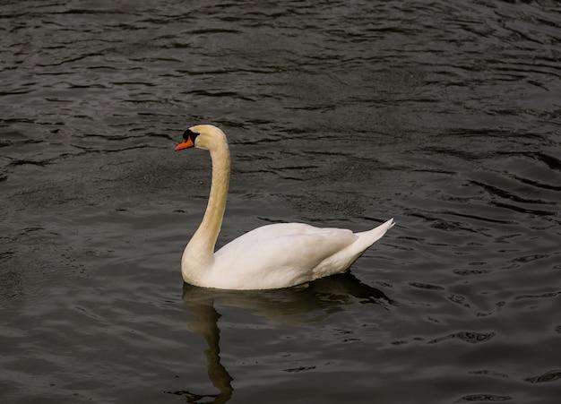 Cygne blanc nageant dans les eaux sombres d'une rivière en hiver.