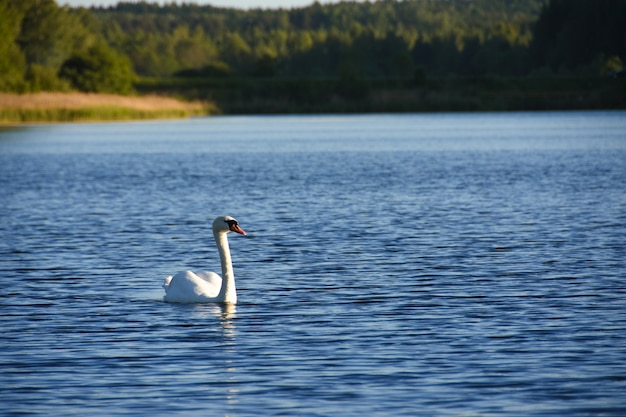 Cygne blanc nageant le long du lac