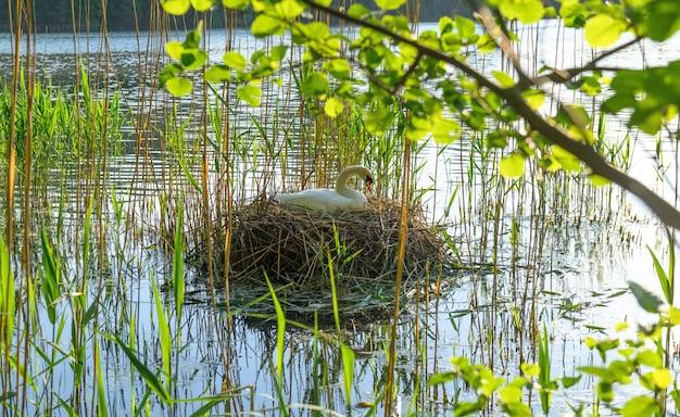 Cygne blanc sur le nid