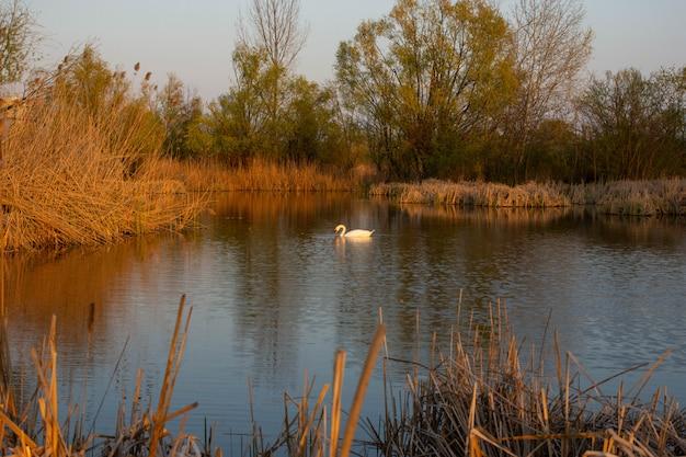 Cygne blanc sur le parc naturel de vacaresti, danube bucarest