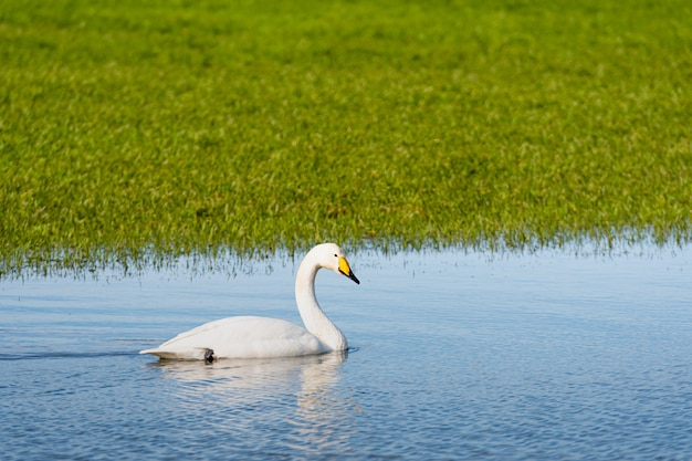 Cygne chanteur (cygnus cygnus), cygne chanteur se nourrissant et se reposant sur les prairies inondées vertes près des maisons rurales