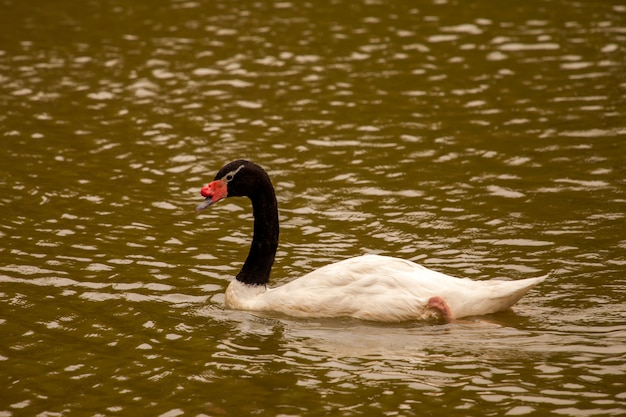 Cygne à cou noir dans le lac