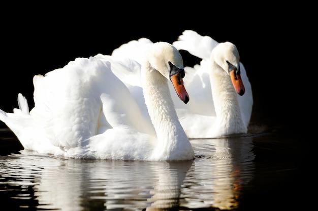 Cygne dans le lac. swan sur fond sombre