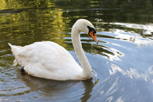 Cygne dans le lac