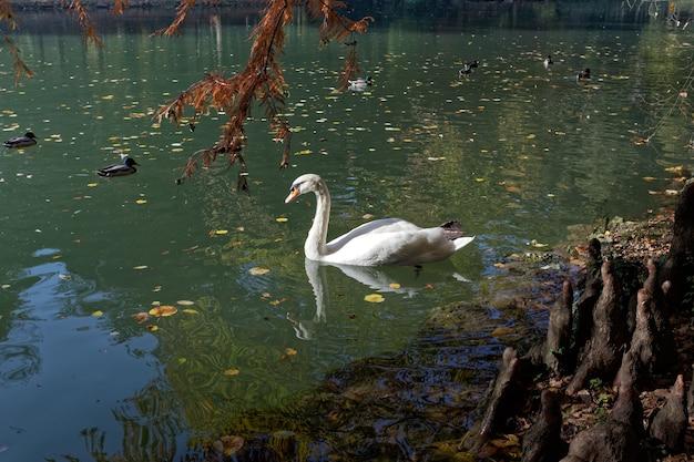 Cygne glissant le long du lac du parco di monza