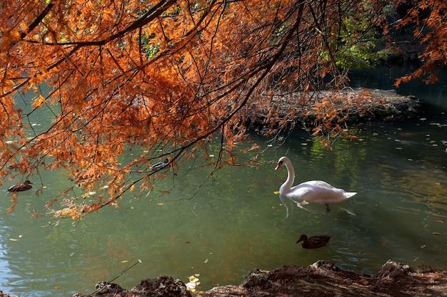 Cygne Glissant Le Long Du Lac Du Parco Di Monza Photo Premium