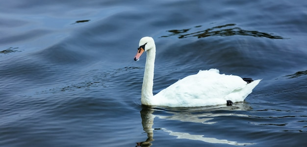 Cygne lac en été