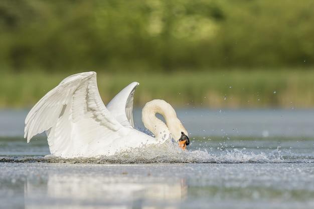 Cygne muet atterrissant sur l'eau et coupant les gouttelettes avec des ailes dans la nature estivale
