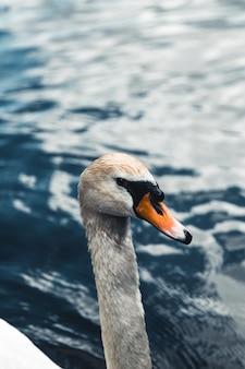 Cygne muet et canards en arrière-plan. prise au prater, vienne. le lac était autrefois un billabong du danube.
