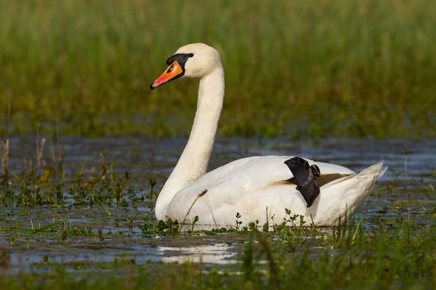 Cygne muet flottant sur les zones humides dans la nature verte du printemps