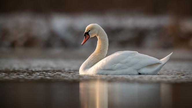 Cygne muet nageant dans l'eau calme au soleil du printemps