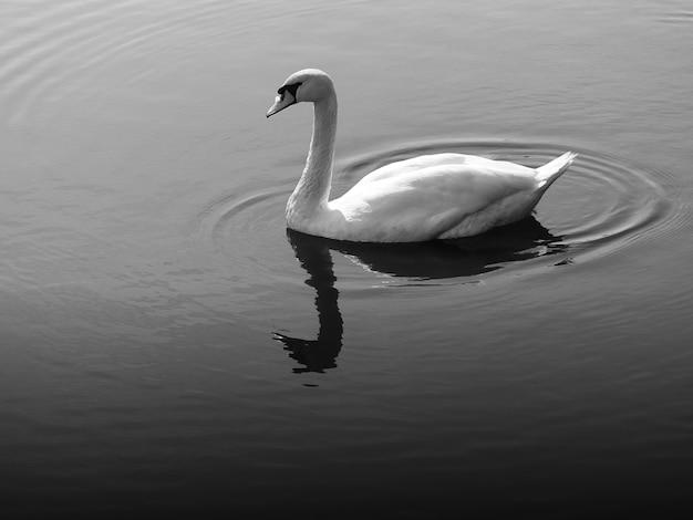 Cygne noir et blanc à la dérive le fond du lac