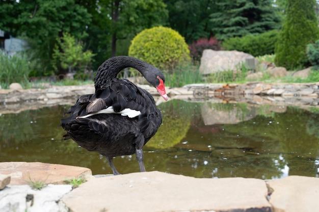Un cygne noir se tient près de l'étang. bel oiseau migrateur de sauvagine, famille de canard
