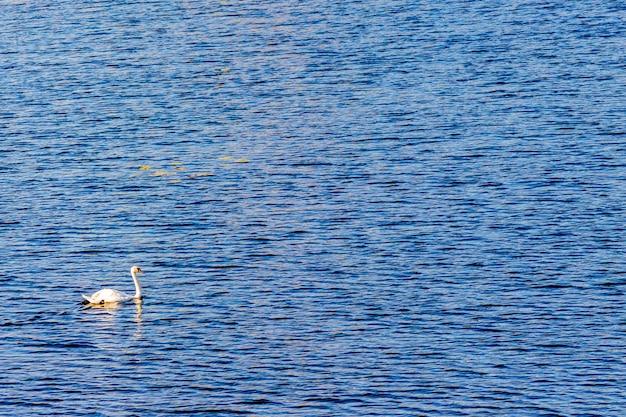 Un cygne solitaire sur un bateau fluvial.