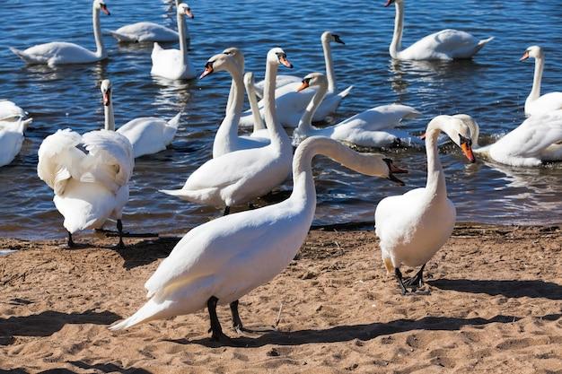 Cygnes au printemps au bord du lac