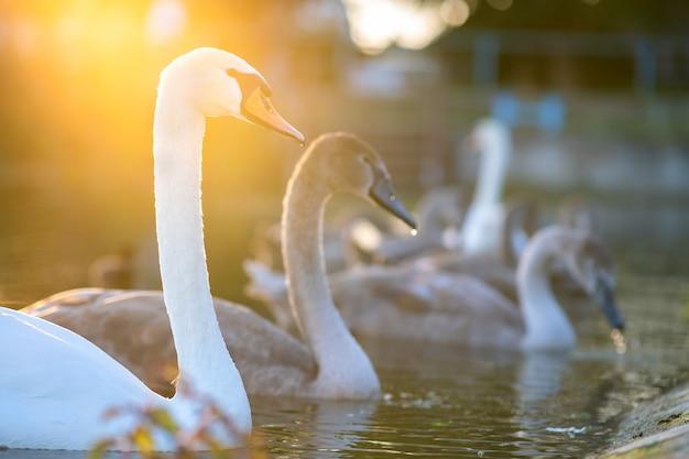Cygnes blancs et gris nageant sur l'eau du lac en été.