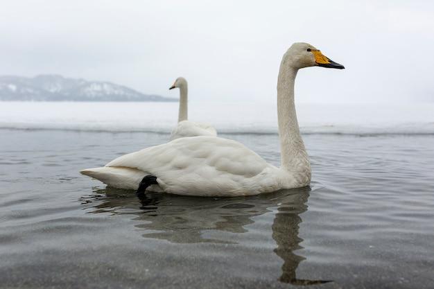 Cygnes blancs nageant dans le lac d'hiver ne gelant pas au japon