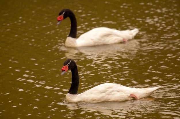Cygnes à cou noir dans le lac