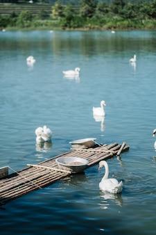 Cygnes dans le lac