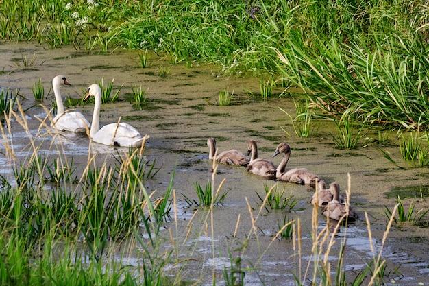 Cygnes sur le lac. cygnes avec des oisillons.
