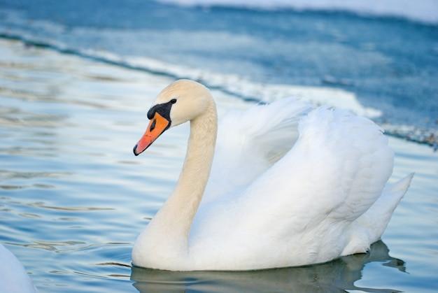 Cygnes sur le lac en hiver
