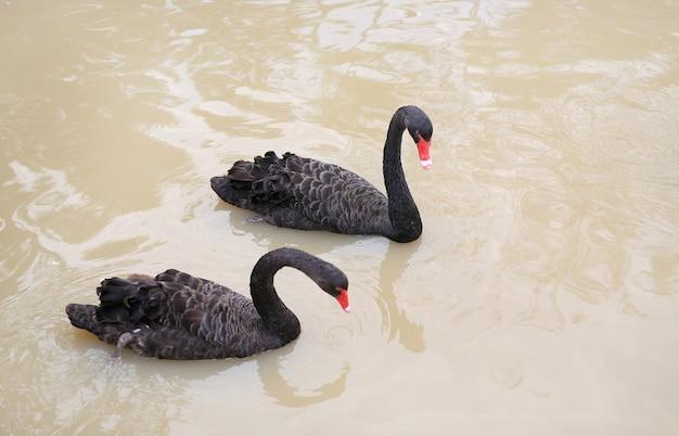 Cygnes noirs flottant dans un étang.