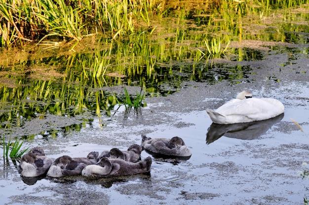 Cygnes avec des oisillons sur l'étang.
